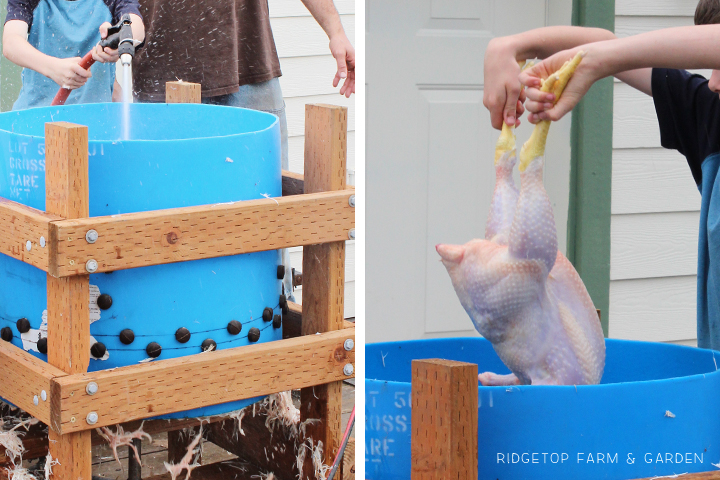 Processing Chickens