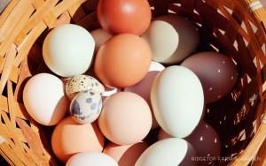 Farm Garden Chicken Quail Eggs