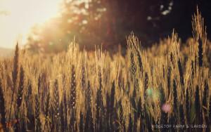Farm Garden Wheat