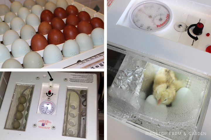Power Outage Running Incubator