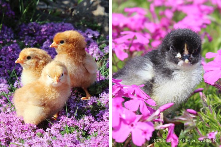 2013 Hatch5 chicks