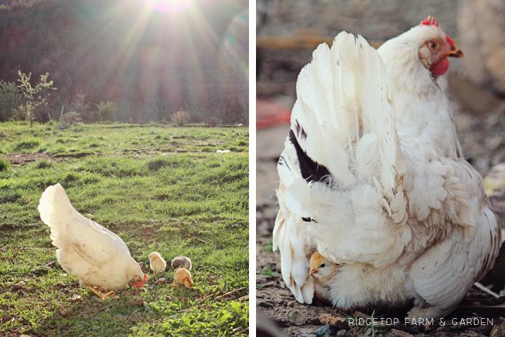 2013 Mama Hen 2