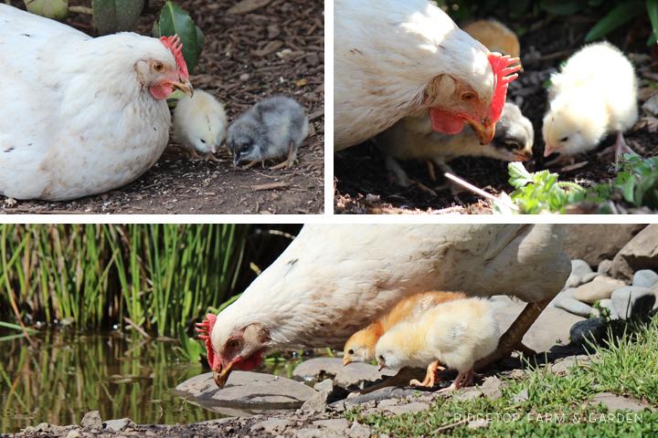 2013 Mama Hen 4
