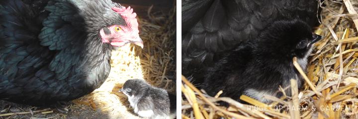 2014 Hatch Mama1 chick