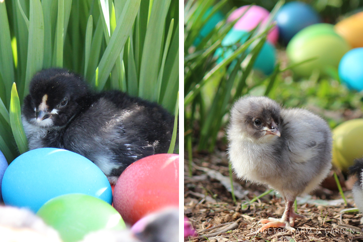 2014 hatch 2 chicks