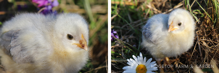 2014 hatch 7 chicks2