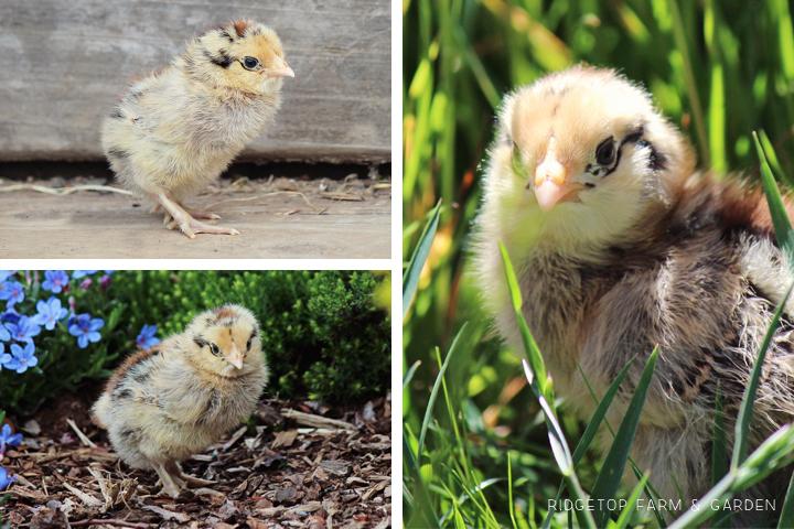 2014 hatch5  Easter Egger