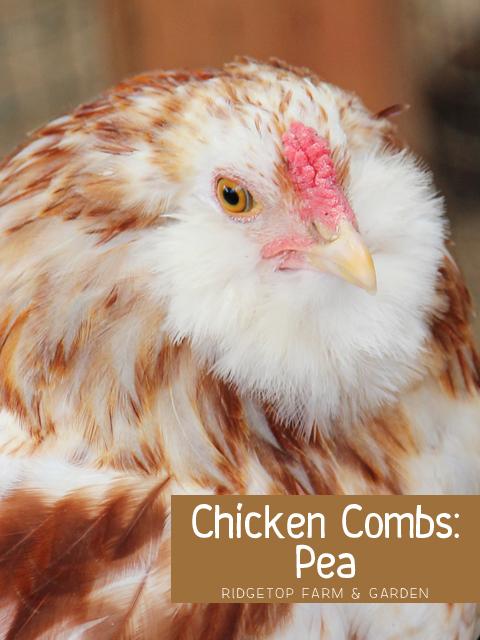 Chicken Comb - Pea title