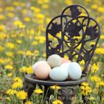 White Eggs vs. Colored Eggs