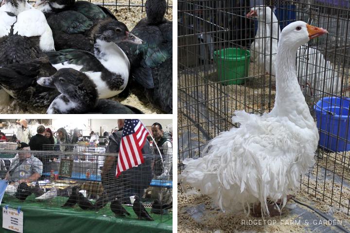 Fall Poultry Swap 2013 Birds