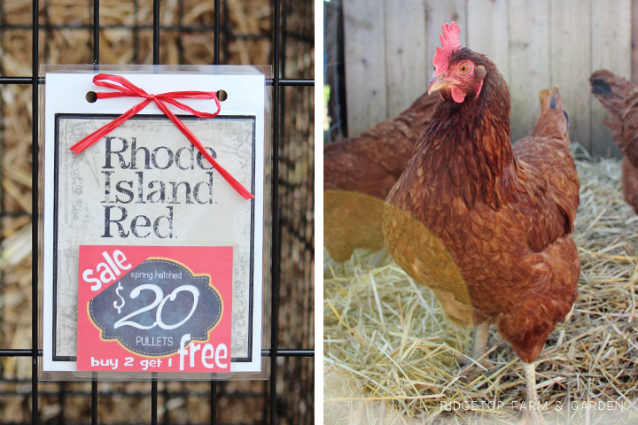 Fall Poultry Swap Rhode Island Red