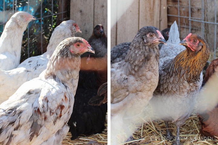 Fall Poultry Swap chickens