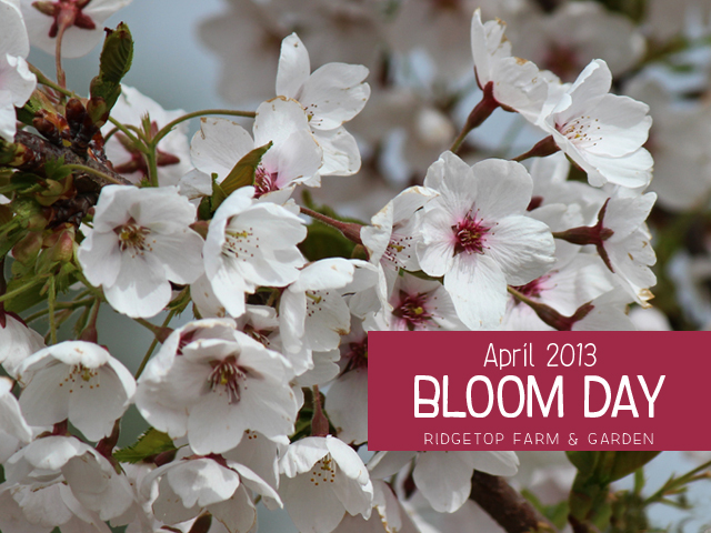 April2013 Bloom Day title