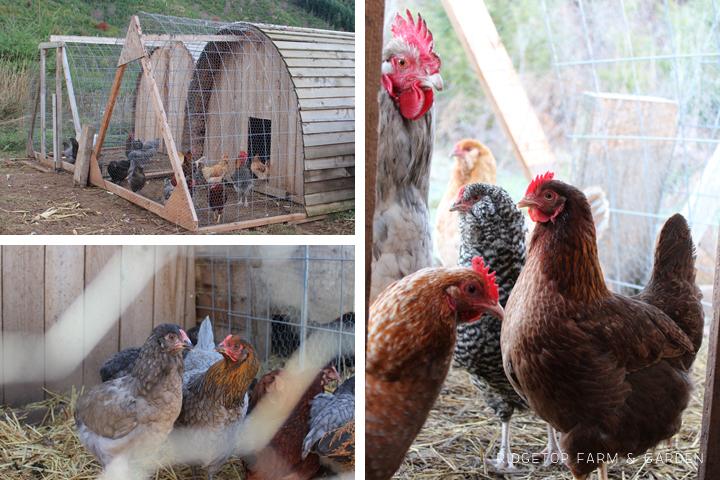 Chicken Hut run
