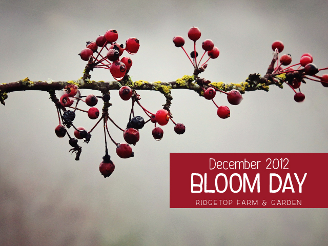 Dec 2012 Bloom Day title