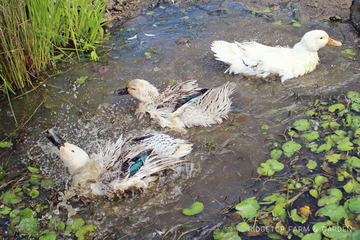 Ducks at Play 2