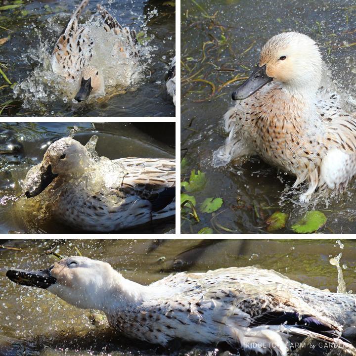 Ducks at Play 3