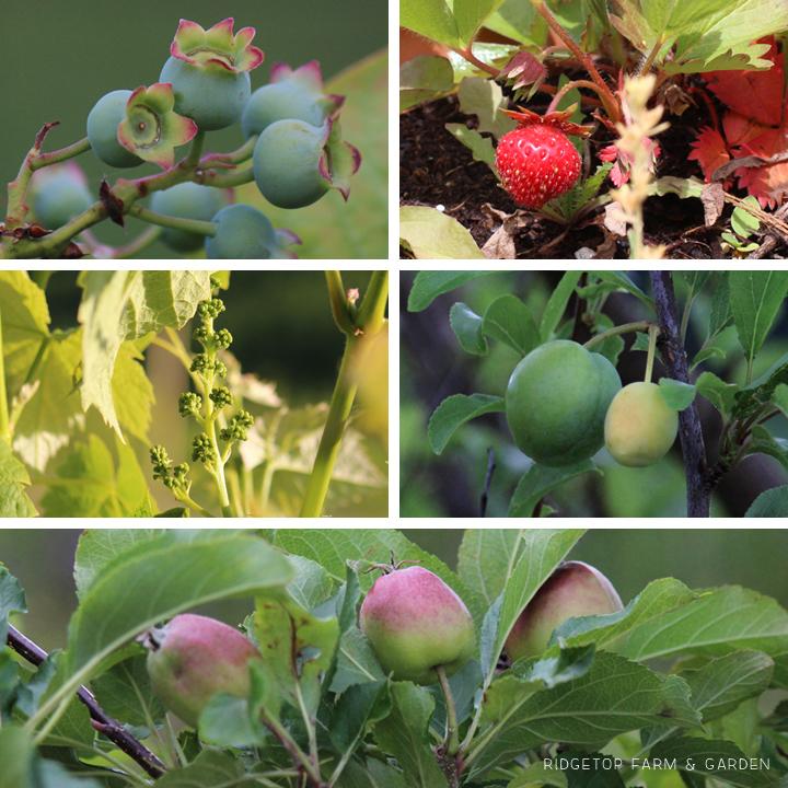 Garden Grows June2014 fruit1