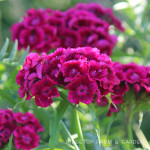 Bloom Day – June 2014
