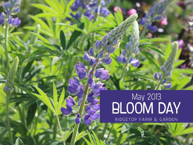 May2013 Bloom Day title