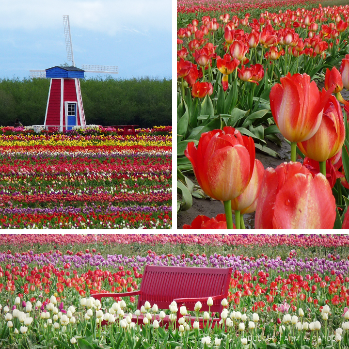 Ridgetop Farm and Garden | Wooden Shoe Tulip Fest 2011