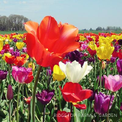 Tulip Fest 2012