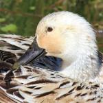 Water for Ducks
