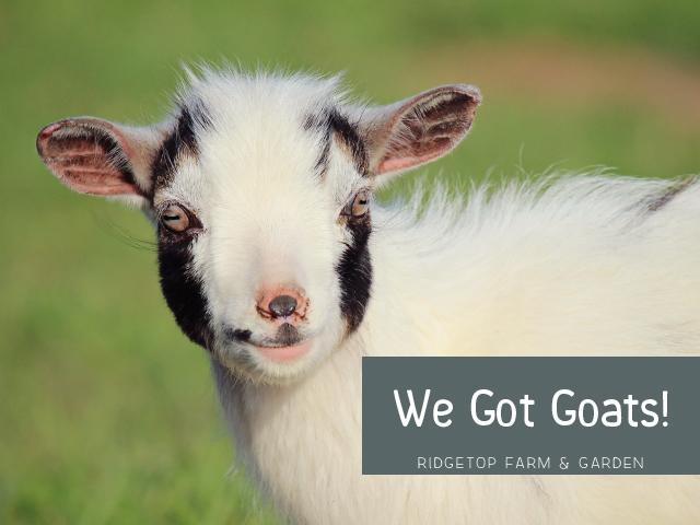 We got Goats title