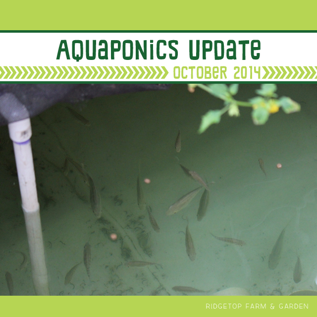 Ridgetop Farm & Garden | Aquaponics Update October 2014