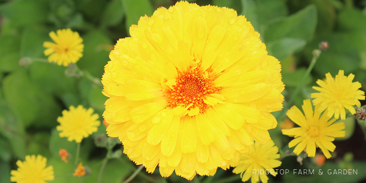 Garden Grows June 2015 calendula
