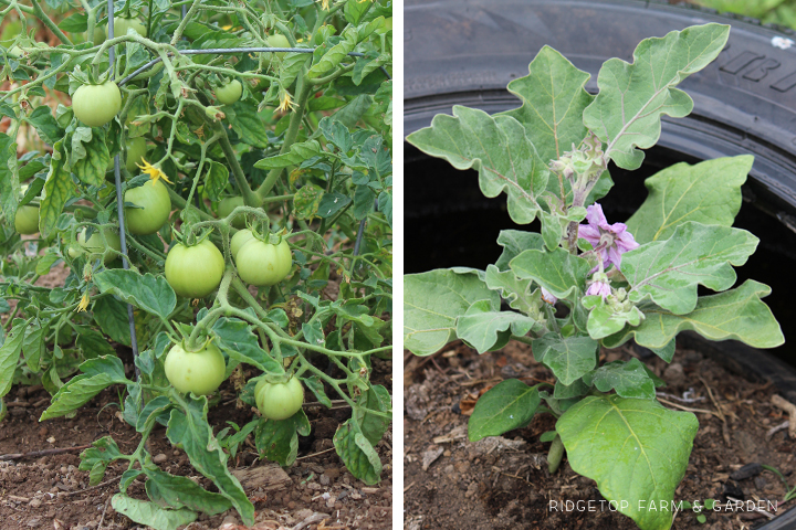 Garden Grows June 2015 tomatoes eggplant