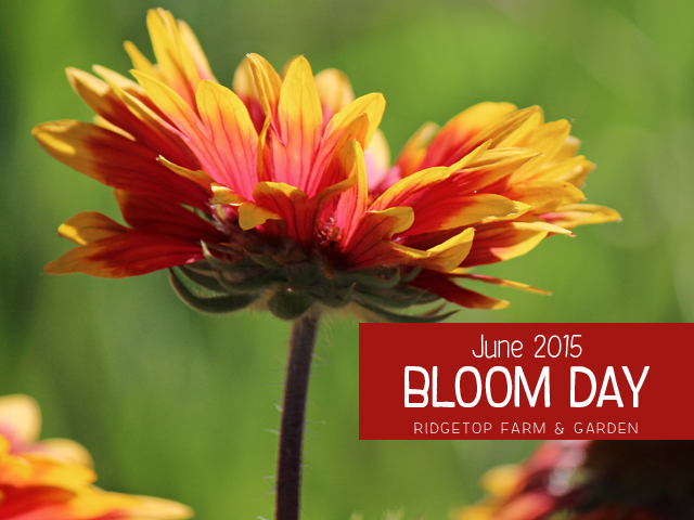 June 2015 Bloom Day title