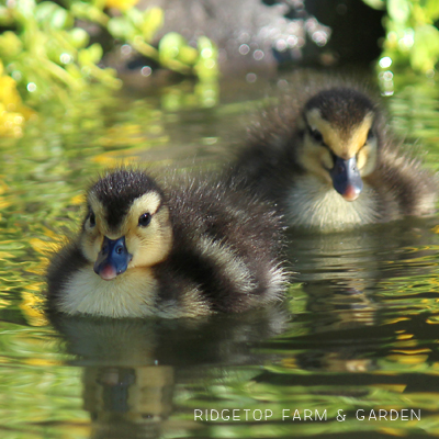 2015 Duck Hatch #1