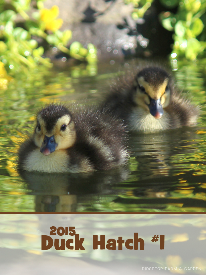 2015 Duck Hatch 1 Title