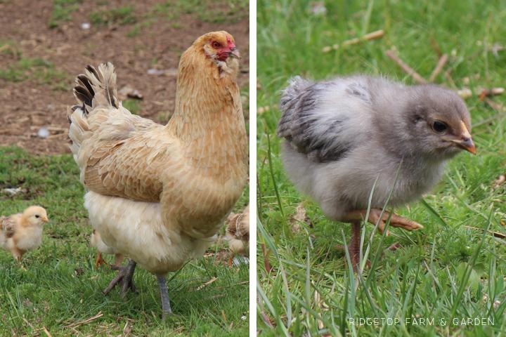 Ridgetop Farm & Garden | 2015 Hatch 1