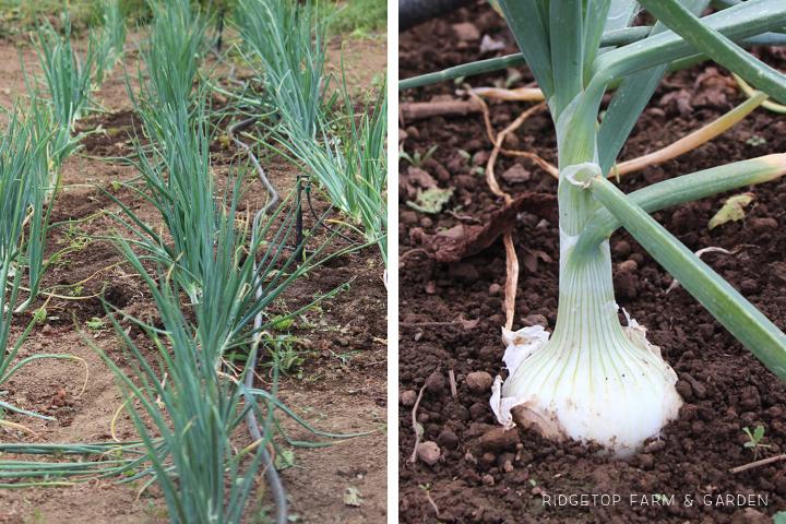 Garden Grows July2015 onions