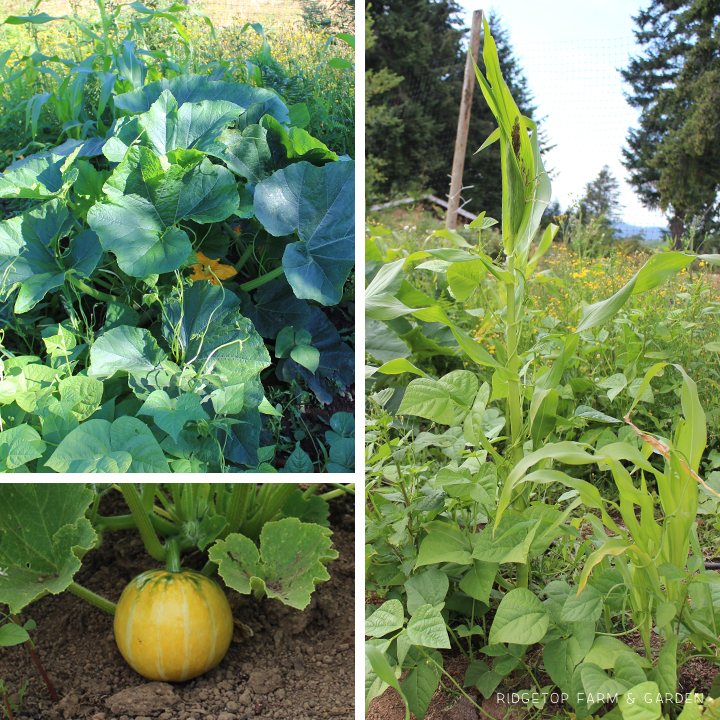 Garden Grows July2015 three sisters