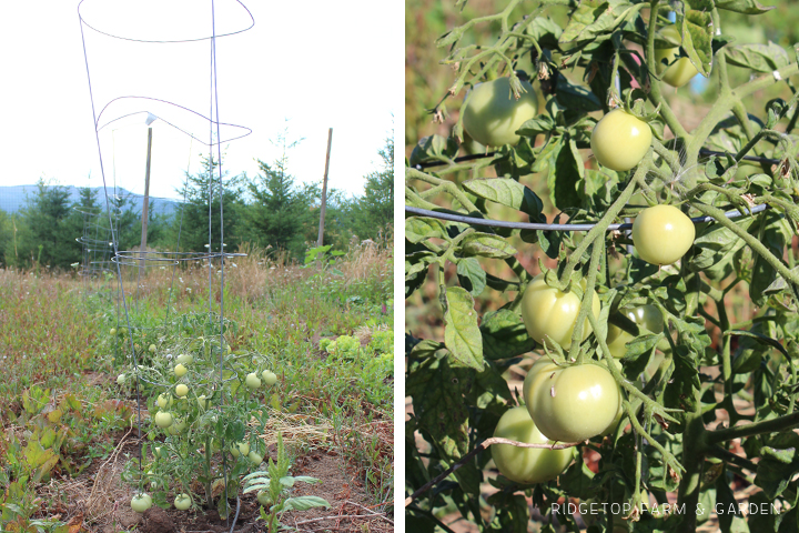 Garden Grows July2015 tomatoes