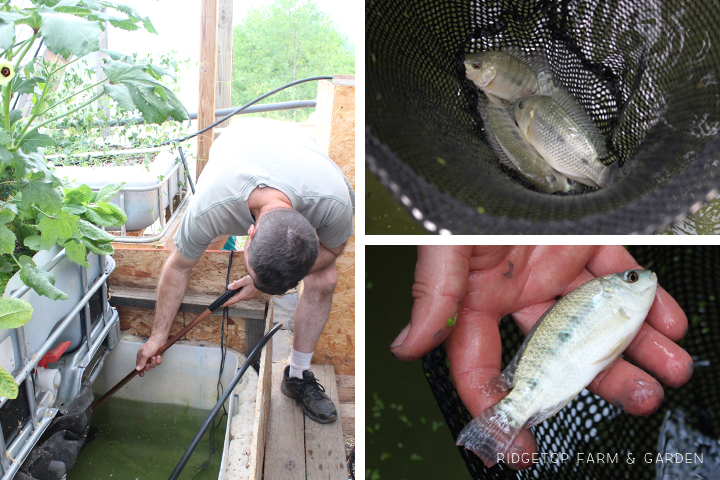 Ridgetop Farm & Garden | Aquaponics Update | July 2015
