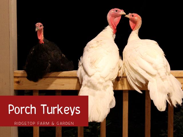 Ridgetop Farm & Garden | Porch Turkeys