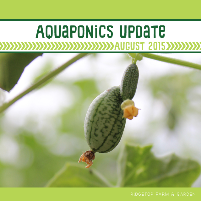 Ridgetop Farm & Garden | Aquaponics Update | August 2015