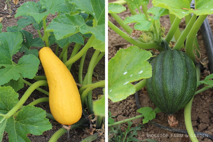 Ridgetop Farm & Garden | How Our Garden Grows | August 2015 | Squash