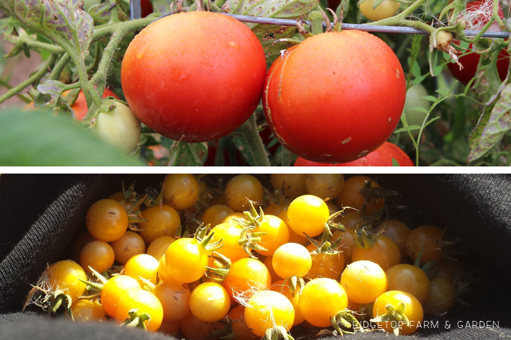 Ridgetop Farm & Garden | How Our Garden Grows | August 2015 | Tomatoes