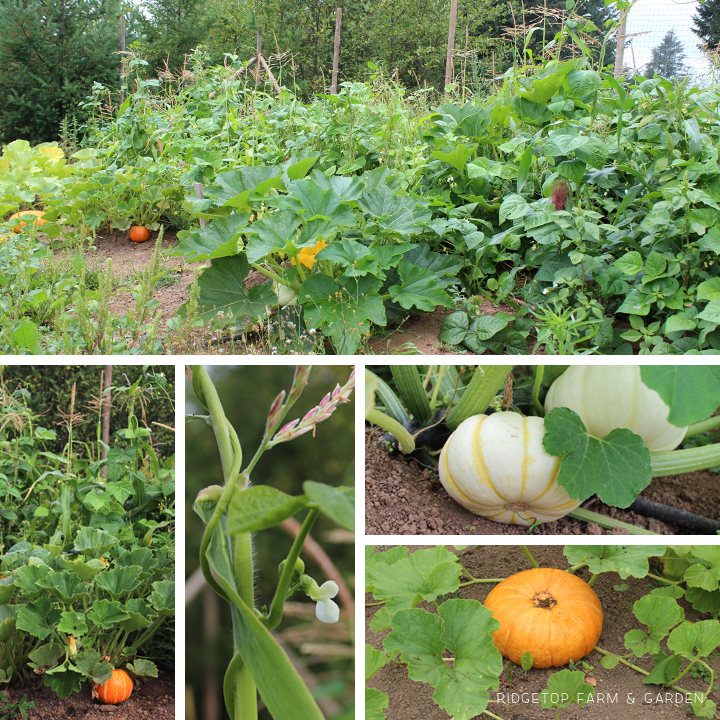 Ridgetop Farm & Garden | How Our Garden Grows | August 2015 | Three Sisters