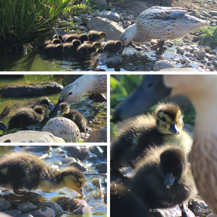 August Ducklings 2