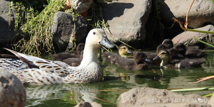 August Ducklings 3