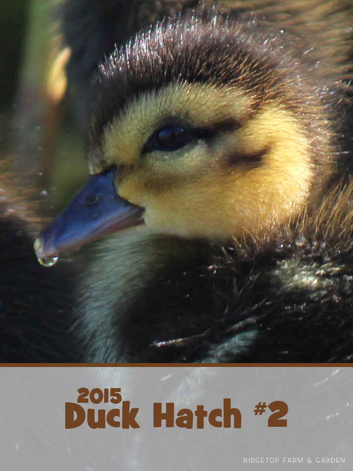 August Ducklings title