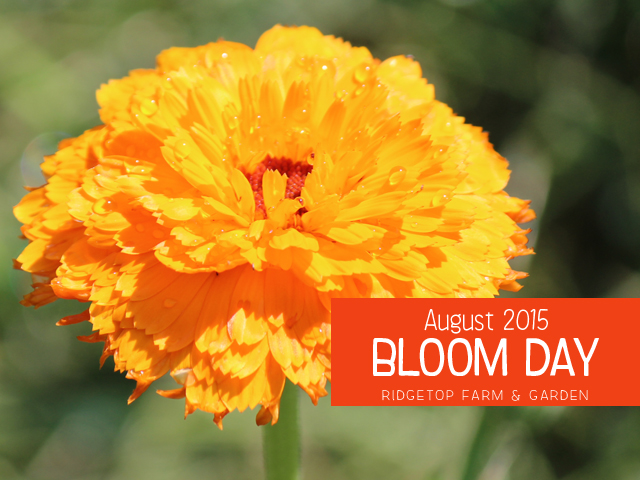 Ridgetop Farm & Garden | Bloom Day | August 2015