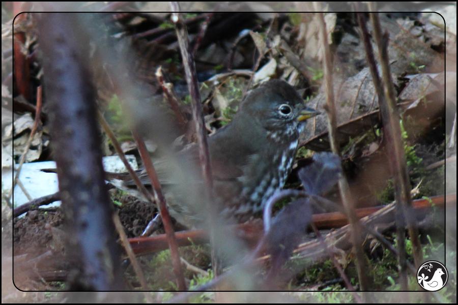 Ridgetop Farm and Garden | Great Backyard Bird Count | Fox Sparrow