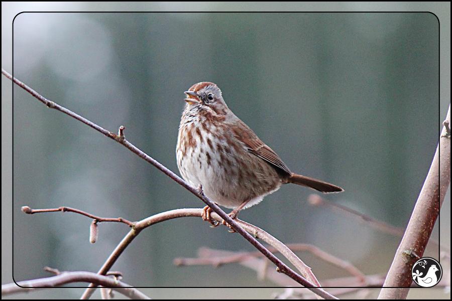 Ridgetop Farm and Garden | Great Backyard Bird Count | Song Sparrow